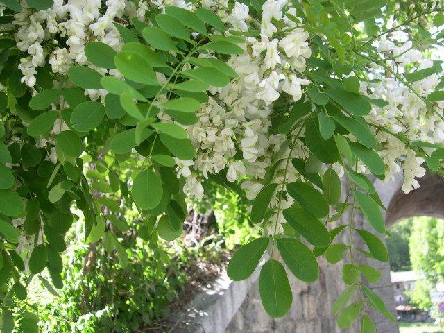 Il profumo dell acacia l 39 incognita 39 s blog for Acacia albero